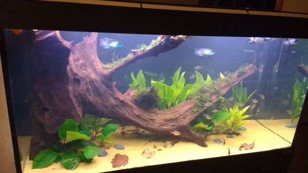 Water Tanks For Sale >> HUGE XXL AQUARIUM MANGROVE DRIFTWOOD WITH JAVA MOSS ATTACHED 3FT at Aquarist Classifieds