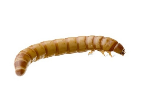 Live giant mealworms at aquarist classifieds for Mealworms for fishing