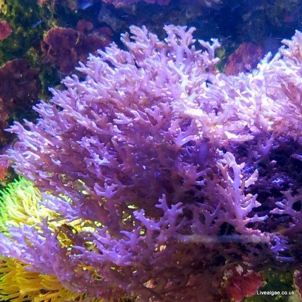 how to get rid of algae in marine tank