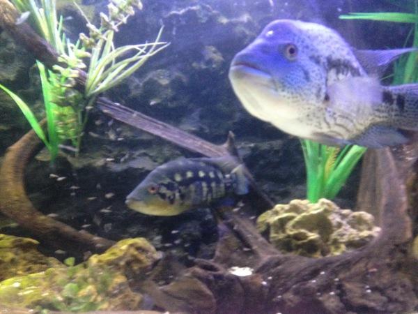 Parachromis Dovii Wolf Cichlid At Aquarist Classifieds