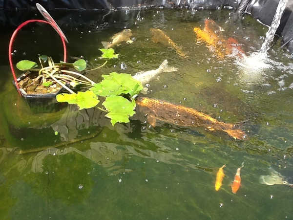 Koi and carp at aquarist classifieds for Koi and carp