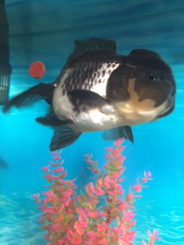 Gorgeous Extra Large Black And White Oranda Fancy Goldfish