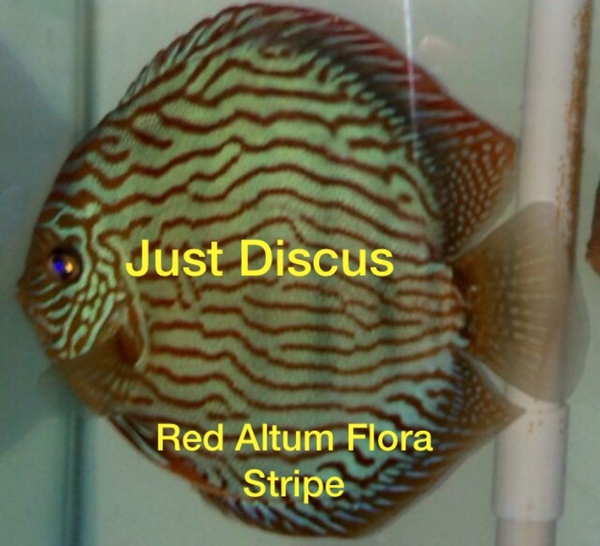 Discus fish for sale  Buy 5 get 2 free or buy 10 get 5 free