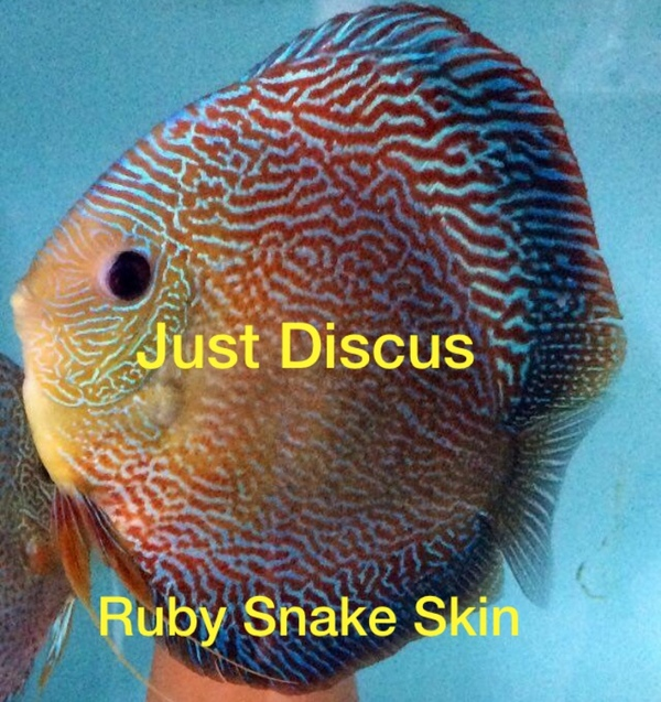 Thousands of discus fish for sale free delivery the for Discus fish for sale near me