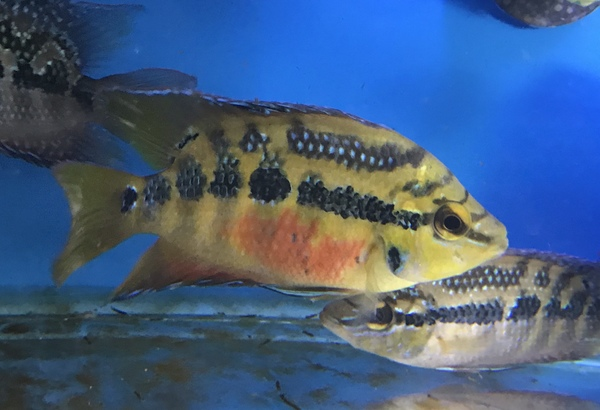 Salvini cichlids for sale  Delivery available at Aquarist