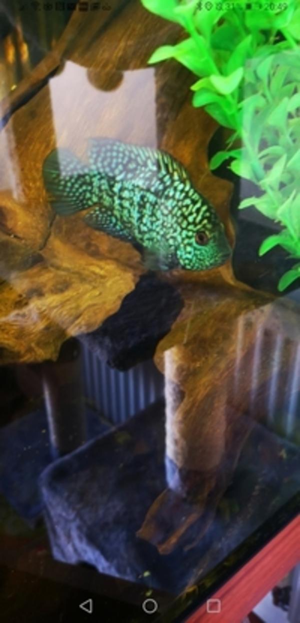 Cichlids General : Aquarist Classifieds Cichlids General