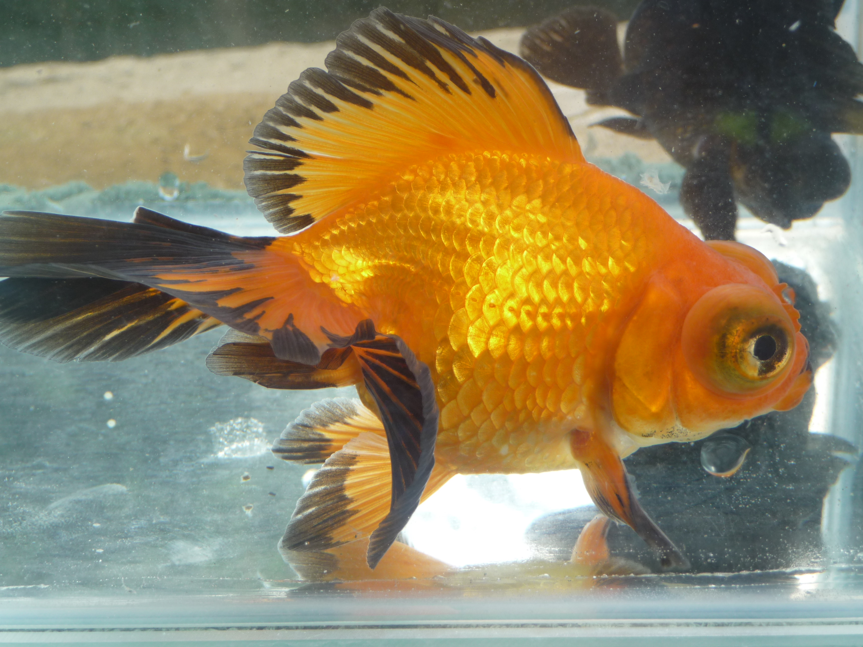 Very High Quality Fancy Goldfish & Coldwater Fish at Aquarist
