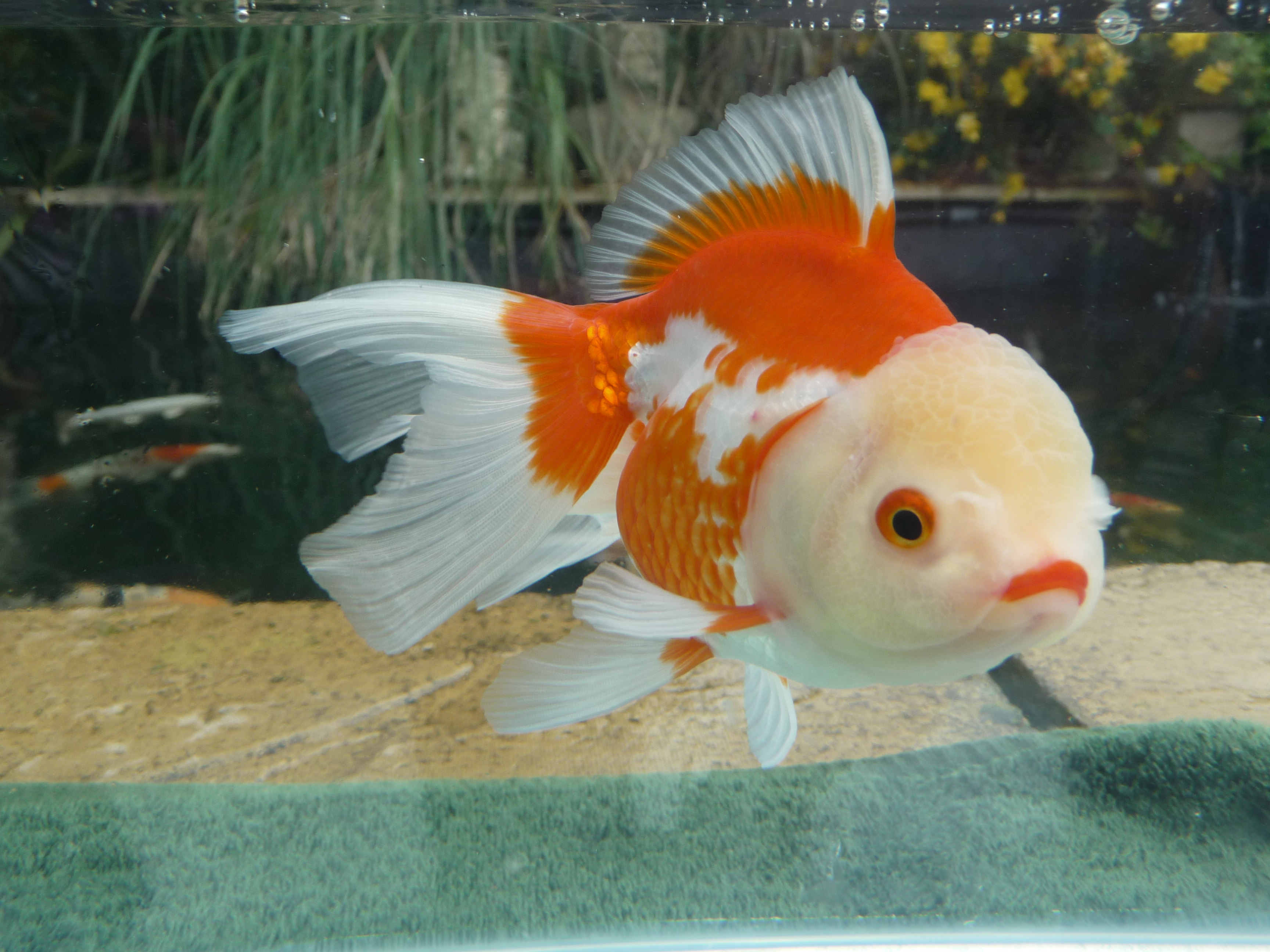 Very high quality fancy goldfish coldwater fish at for Aquarium poisson rouge gifi