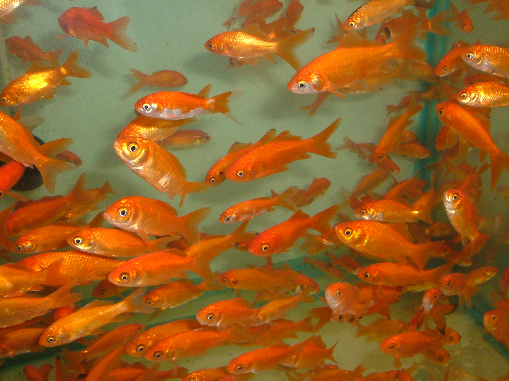 Top quality goldfish for ponds coldwater aquariums at for Goldfish pond