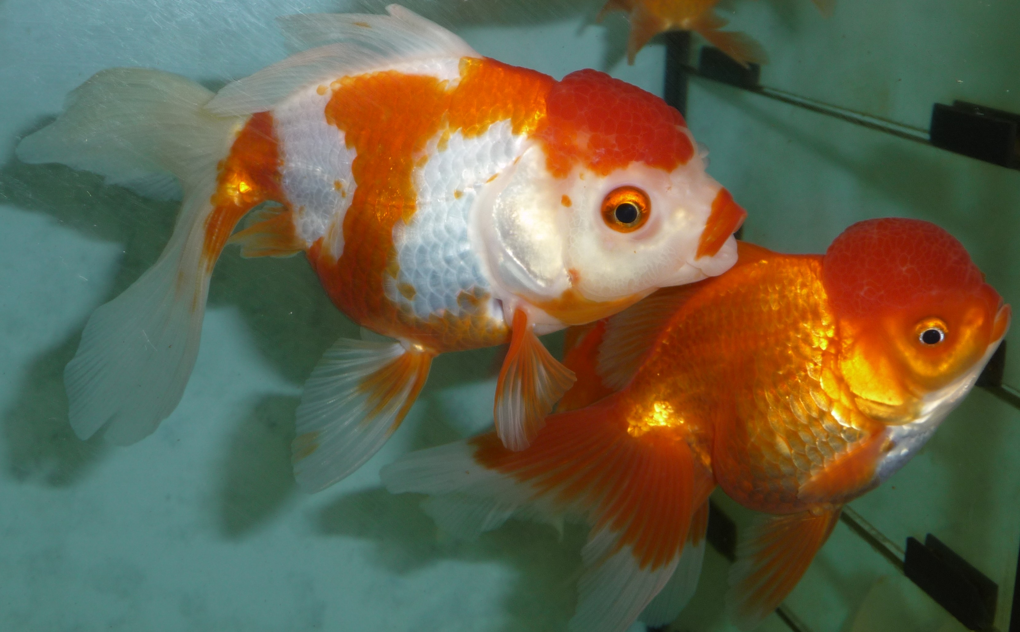 Very High Quality Fancy Goldfish & Coldwater Fish at Aquarist ...