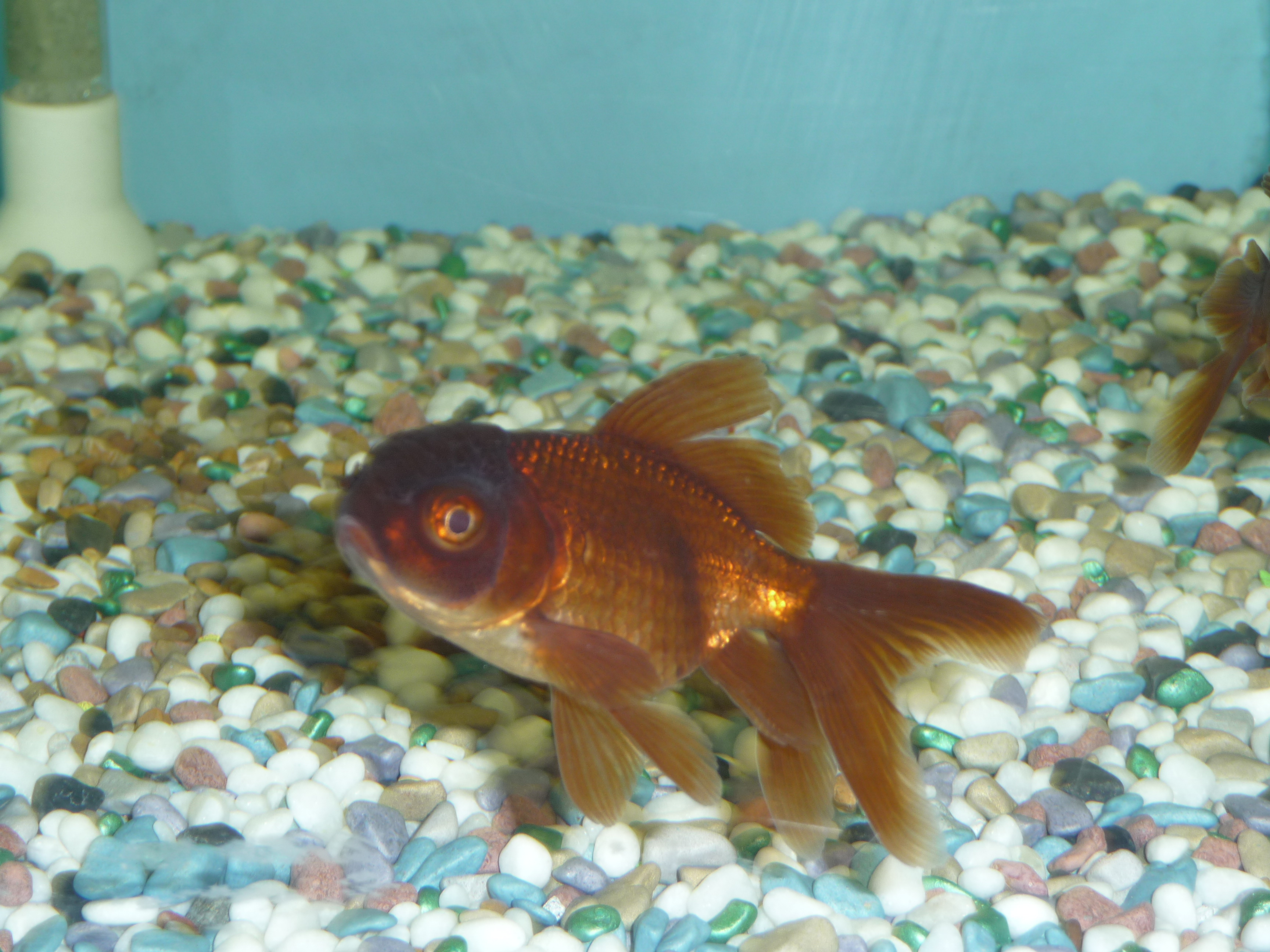 Very High Quality Fancy Goldfish & Coldwater Fish at ...