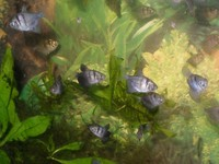 C. pygmaeus, C. napoensis,  Day's Spike-tail Paradise fish, Black Widows and Bristlenose Plecs for sale (South Wales)