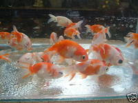 Very High Quality Fancy Goldfish & Coldwater Fish