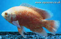 albino red oscar 4 to 5