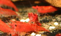 AWESOME SHRIMP - Tiger, Bumblebee, Velvet Blue, Sakura inches Super Red inches and Green Lace Atya shrimp