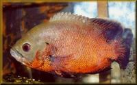 Beautiful large red oscar 10inches