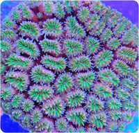 MAILORDERCORALS.COM THE UK`S LARGEST SELECTION OF MARINE CORALS AND FRAGS - ORDER ONLINE NOW , LIVE ARRIVAL GUARANTEED