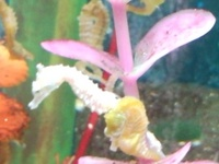 DWARF SEAHORSES IN NOW