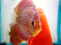 Regal Discus Fish