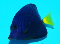 STUNNING PURPLE TANG FOR SALE