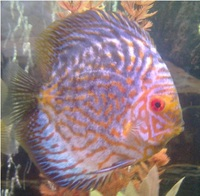 7 VERY NICE DISCUS (SORRY SOLD)