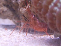 Peppermint Shrimps Available Rid Your Tank Of Aiptasia