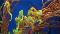 RARE SEAHORSES ONCE ONLY COMING IN THIS WEEK