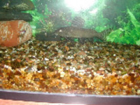 Synodontis Angelicus - For Sale