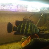 baby tilapia buttikoferi cichlids at Aquarist Classifieds