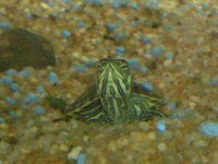 Yellow Belly Slider Turtles x2, Tank and Stand