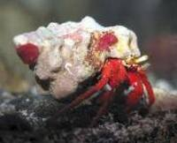 Red Legged Hermit Crabs. �00, Cheapest around