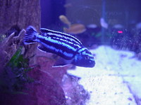 Blue Iced Red Top Zebras and Melanochromis Johanniis Malawi Cichlids available
