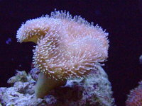 Some lovely soft corals available - from �.00 each
