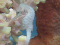 H FUSCUS SEAHORSES IN STOCK