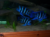 Zaire blue Kapampa adult males for sale