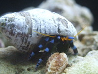 Electric Blue Hermits Only �50 each