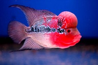 AAA Kamfa,ZZ,Red Dragon,Thai Silk & Shortbody Flowerhorn.