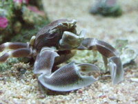 Boxer / Pom Pom Crabs now available, delivery only �per order