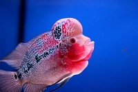 FLOWERHORN LOVER VIDEO 1