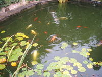 closing down pond koi carp and goldfish for sale entire contents �150