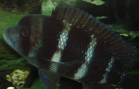 Cyphotilapia frontosa 6-8 inch quad breeding group