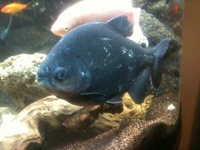 Lots Of fish for sale pacu plecs catfish piranha lungfish