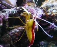 Peppermint shrimps available, only �99 each