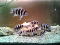 Established Group Of 8 Frontosa Burundi 3-6 inches