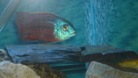 TOP QUALITY-MALAWI CICHLIDS - NORTH LONDON N22 ,