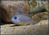 Various Malawi Cichlids for sale....
