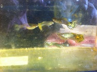 leopard dotted guppy fishes for sale