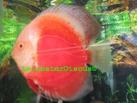 LEICESTER DISCUS Importer & Breeder of Show Quality Discus. Specialist in Spotted types