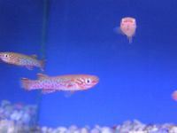 Killie fish now Available.