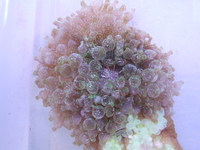 Bubble tip anemones only �.99